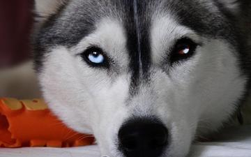 мордочка, взгляд, собака, хаски, разные глаза, haski