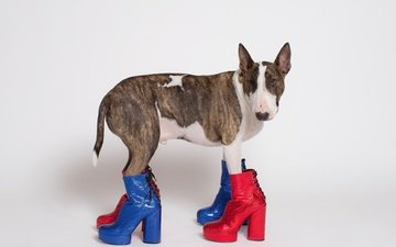 face, look, dog, bull terrier, boots, nicolas newbold