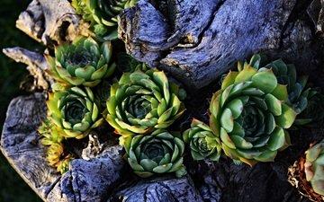 nature, plants, petals, stonecrop