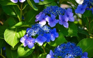 flowers, flowering, leaves, hydrangea