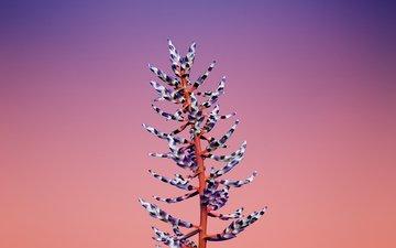 цветок, растение, стебель, эхмея, aechmea
