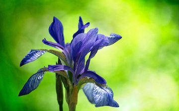 flowering, flower, blur, iris, cvetok