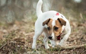 muzzle, look, dog, puppy, jack russell terrier