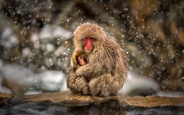макаки, детеныш, обезьяны, снегопад, японский макак, снежная обезьяна