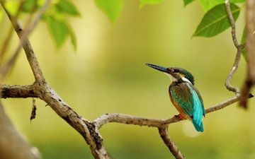 branch, tree, leaves, bird, beak, feathers, kingfisher