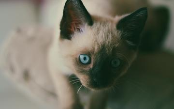muzzle, mustache, cat, look, kitty, blue eyes, siamese
