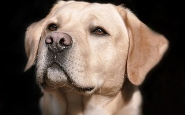 морда, взгляд, собака, черный фон, животное, лабрадор