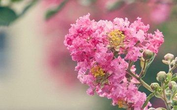 flowering, flower, blur, pink flowers, lagerstroemia