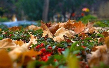 nature, leaves, berry, autumn, rowan