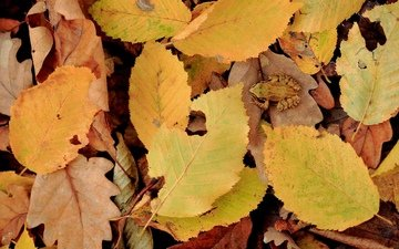 nature, leaves, autumn, frog, yellow leaves