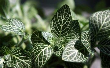 листья, макро, прожилки, растение, фиттония