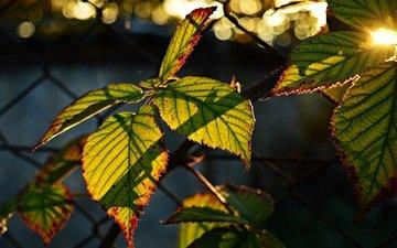 leaves, bokeh, sunlight