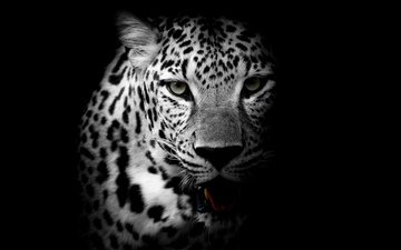 face, look, black and white, leopard, predator, wild cat
