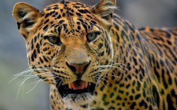 морда, усы, взгляд, леопард, хищник, дикая кошка