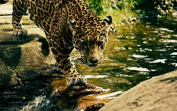 face, water, look, leopard, predator, wild cat