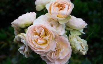 blumen, knospen, rosen, blütenblätter