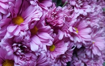 flowers, petals, chrysanthemum