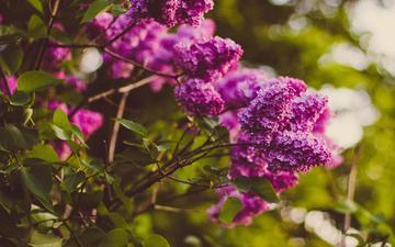 цветы, цветение, ветки, весна, сирень, боке