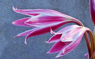 цветы, лепестки, лилия, боке