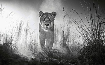 face, grass, look, black and white, predator, leo, lioness, wild cat