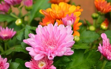 flowers, leaves, petals, chrysanthemum