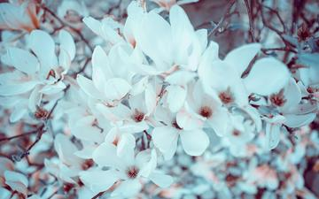 flowers, flowering, branches, spring, magnolia