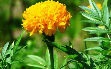 yellow, leaves, flower, petals, bud, marigolds