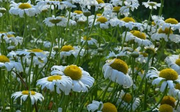 flowers, petals, meadow, chamomile, white, stems