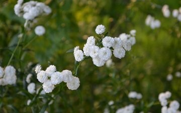 spring, meadows, white flowers, oyster, yarrow of ptarmica