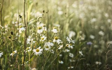 flowers, plants, petals, meadow, chamomile, white, stems, wildflowers