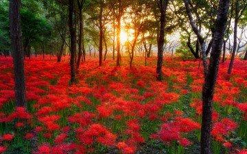 цветы, деревья, солнце, природа, растения, лес, пейзаж, поляна, лилии, пауковая лилия