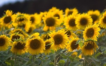 leaves, petals, sunflowers, stems, yellow flowers