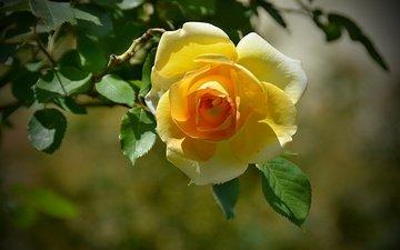 листья, цветок, роза, лепестки, боке, желтая роза