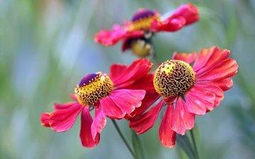цветы, лепестки, боке, гелениум