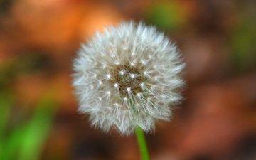 цветок, размытость, одуванчик, пух, пушинки, былинки