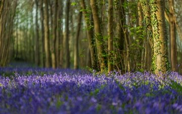 flowers, trees, forest, trunks, england, bells, dorset