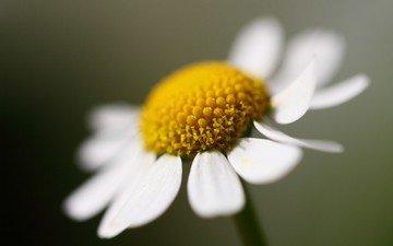 flowers, macro, petals, daisy, white