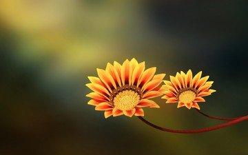 flowers, nature, macro, petals, stems, gazania