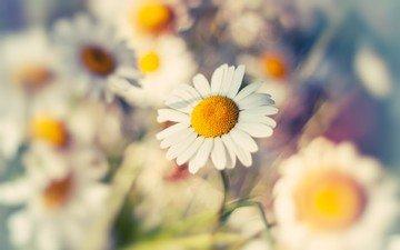 flowers, macro, petals, blur, chamomile, white