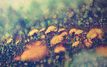 flowers, nature, macro, blur, dandelions, yellow