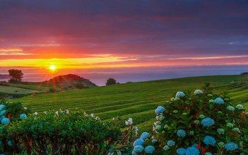 цветы, солнце, природа, закат, лучи, пейзаж, океан, плантации, португалия, гортензия, manuel oliveira