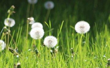 цветы, трава, одуванчики, пух, пушинки, былинки
