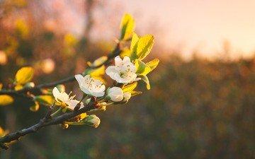 flowers, branch, flowering, spring, bokeh