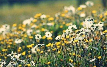 flowers, nature, macro, chamomile, wildflowers