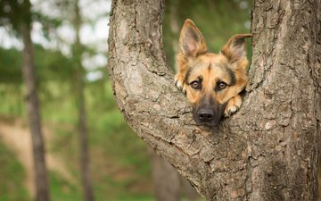 дерево, мордочка, взгляд, собака, немецкая овчарка