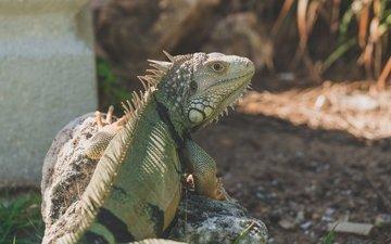 lizard, reptile, iguana