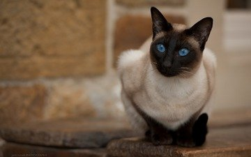 кот, мордочка, усы, кошка, взгляд, тайская