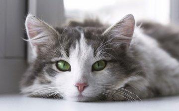 кот, мордочка, усы, кошка, взгляд, зеленые глаза
