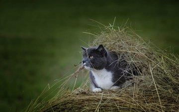 кот, мордочка, усы, сено, кошка, взгляд, стог