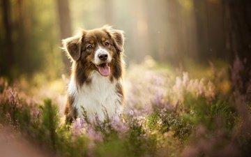лаванда, собака, язык, боке, кейли, австралийская овчарка, dackelpup